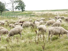 Shepherd's Way Sheep
