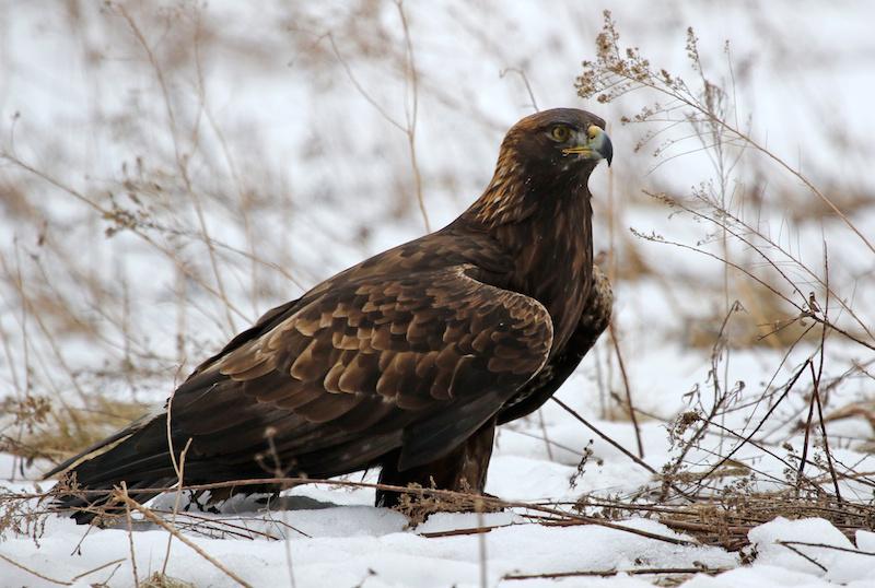 golden eagle, wabasha