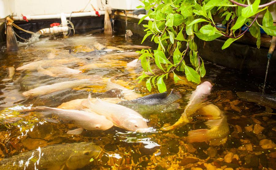 gandhi mahal, restaurants revisited, jason and joy, food, fish, aquaponics