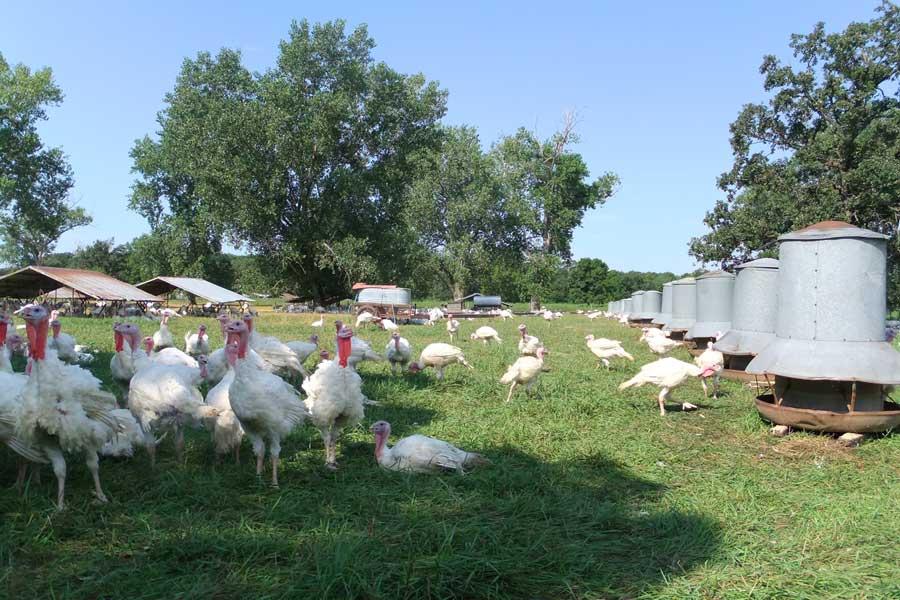 Turkeys at the Ferndale Market