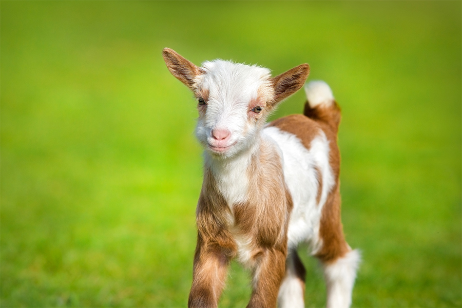 A baby goat at the Twin Cities Festival Spring Babies.
