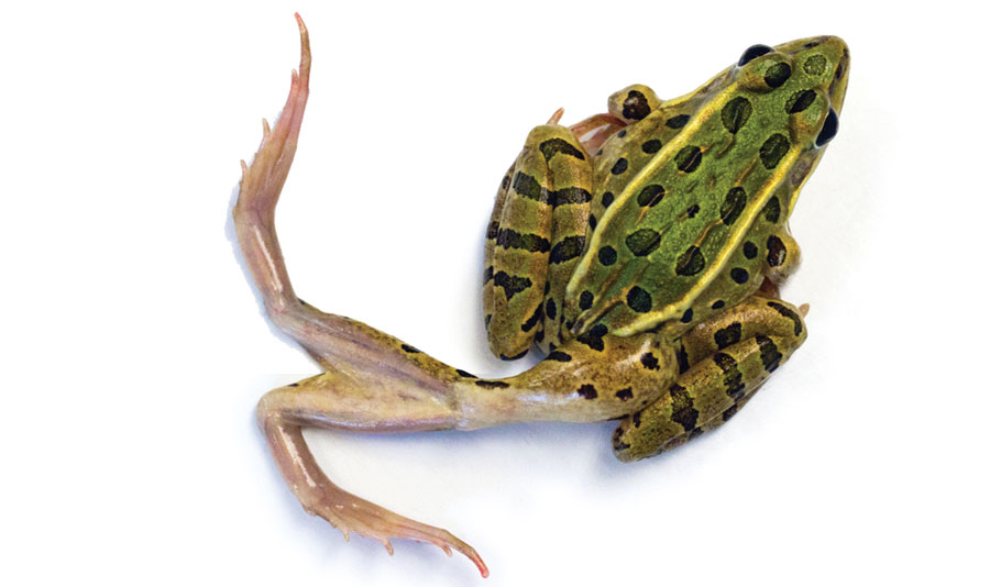 A deformed frog with an extra pair of legs.