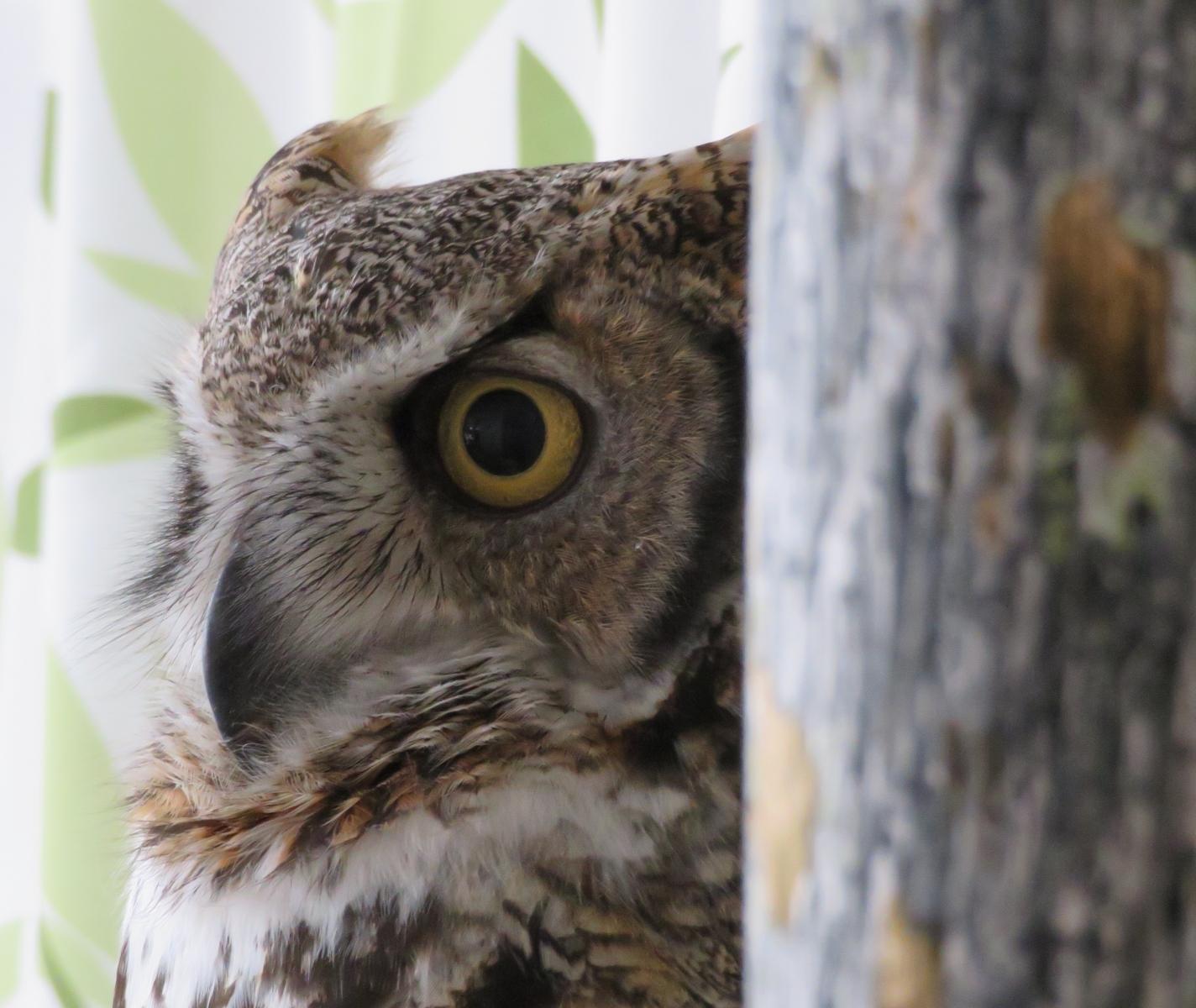 Alice, the great horned owl who started it all at the International Owl Center in Houston, Minnesota. Celebrate her retirement in November 2018. Courtesy Karla Bloem.