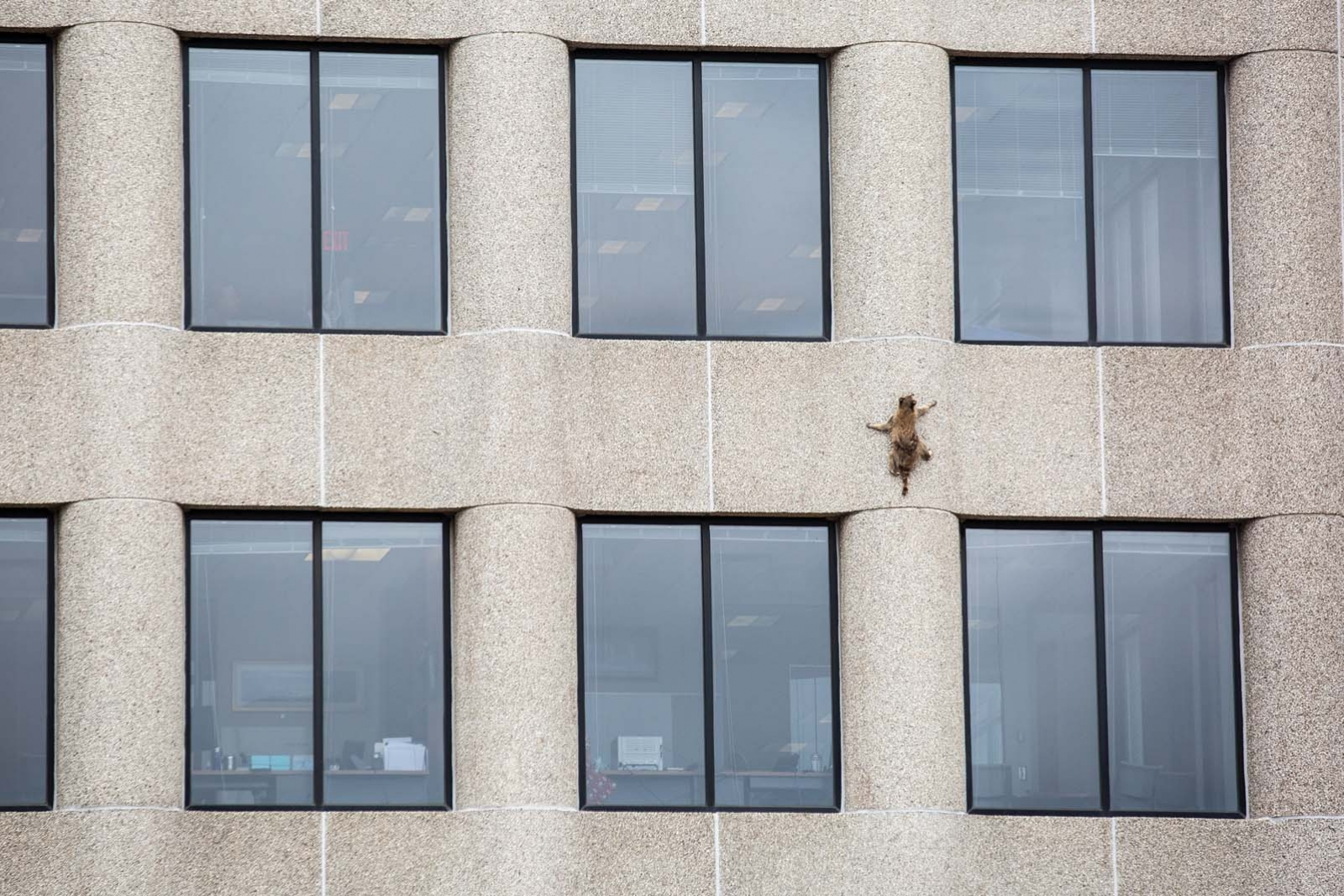 The raccoon scaling the exterior of the MPR News building in St. Paul, Minnesota.