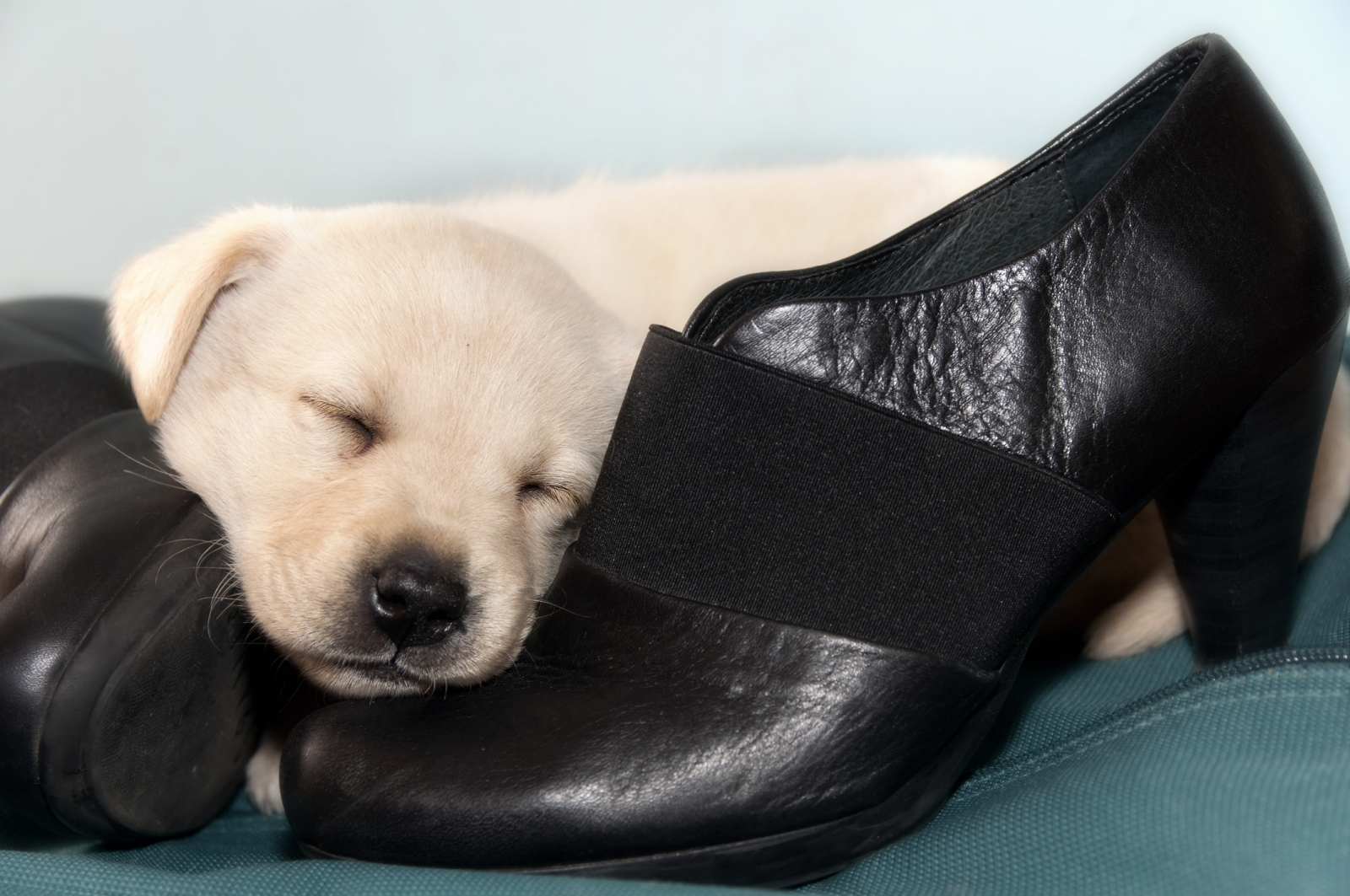 A labrador puppy on top of some heels. Photo by Alessandro dyd/Fotolia.