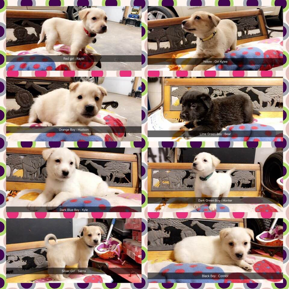 The adorable puppies that will be at Puppies & Pumps in Stillwater, Jan. 11, 2019. Courtesy Luck Paws Midwest.