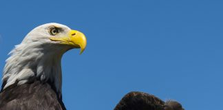 Bald eagle against the sky