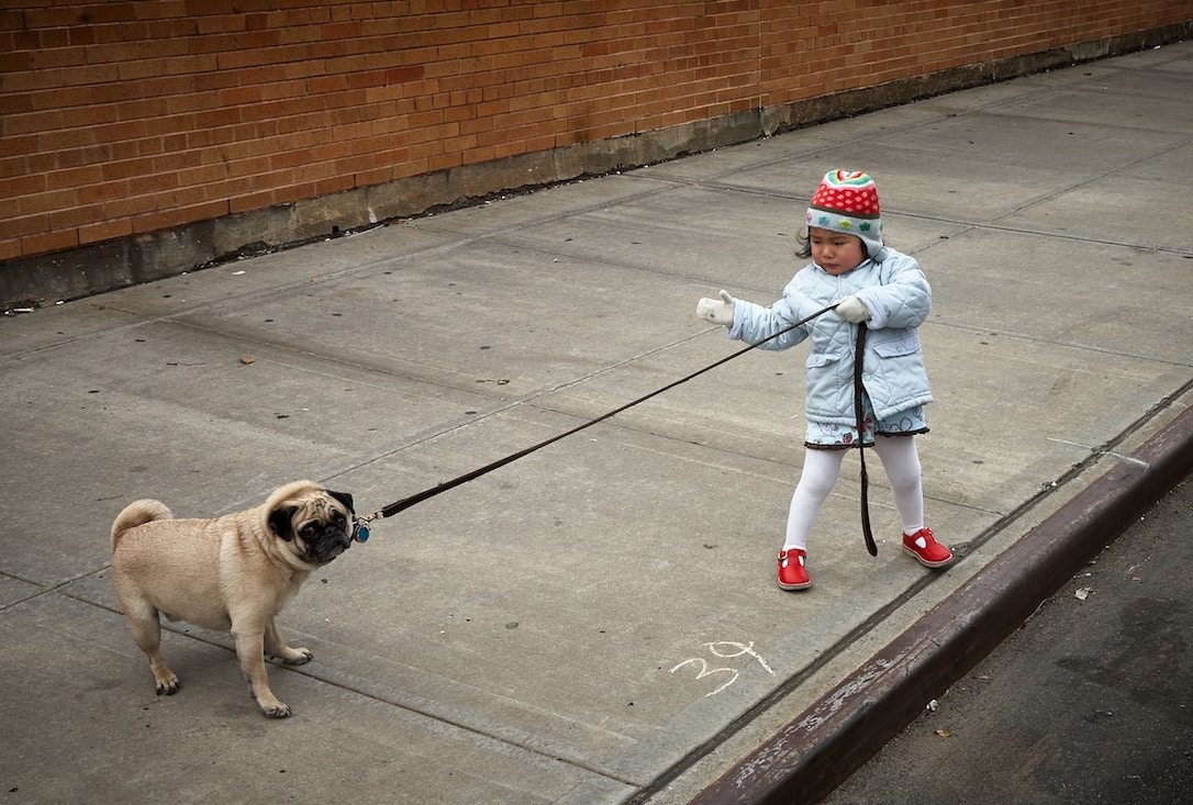 A child trying to take a pet pug for a walk