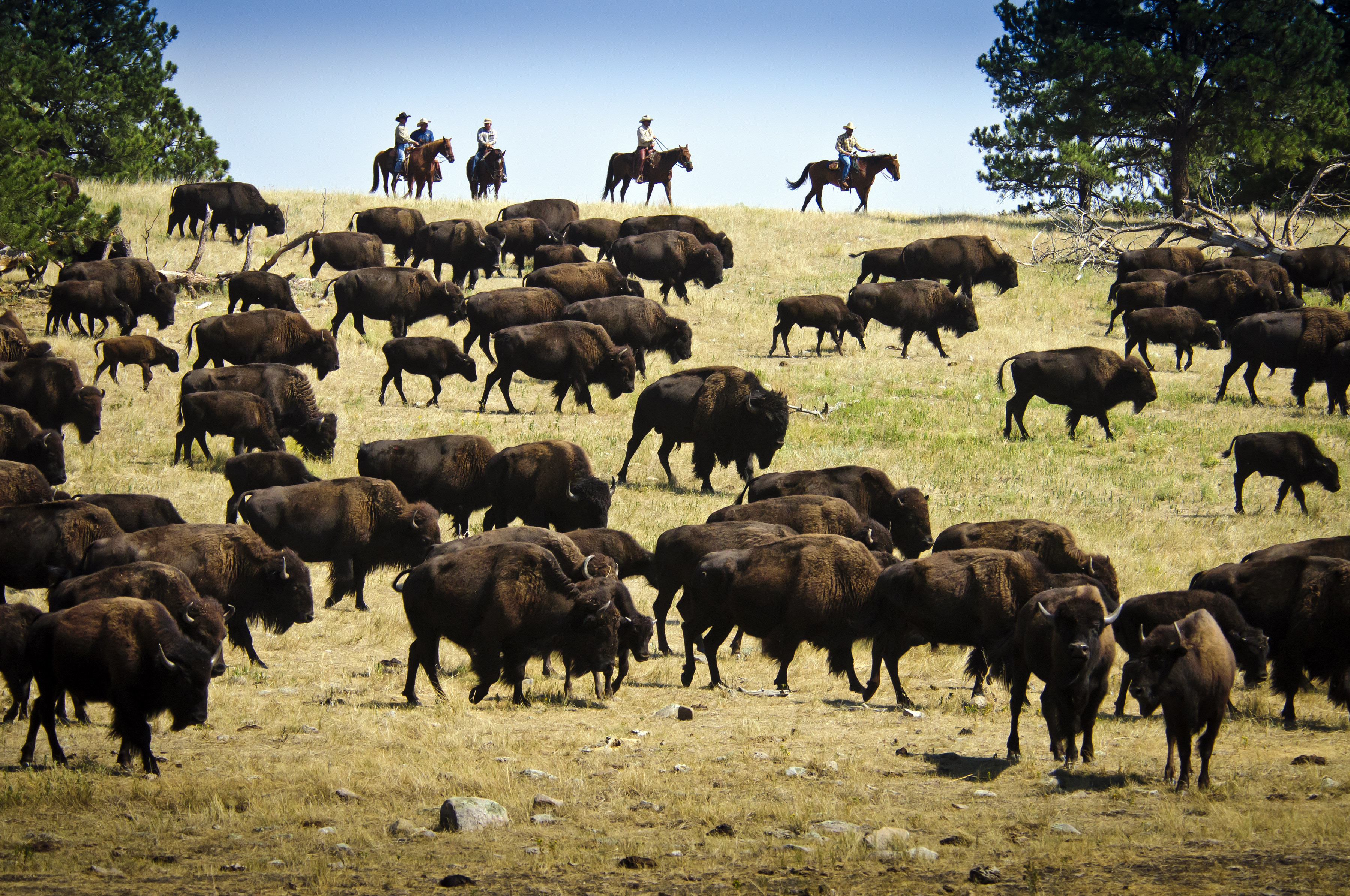 Riders on horses round up over a thousand buffalo in Custer State Park