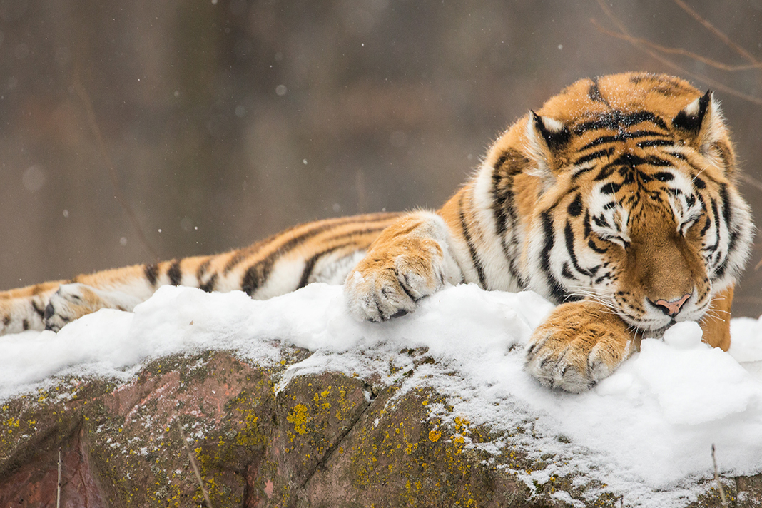A tiger laying on a snowy boulder