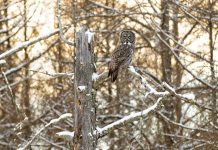 A great gray owl perched in Sax-Zim Bog