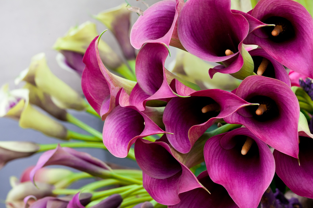 Beautiful bouquet of calla lilies. Abstract background.