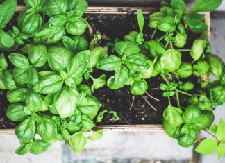 Basil in an herb planter