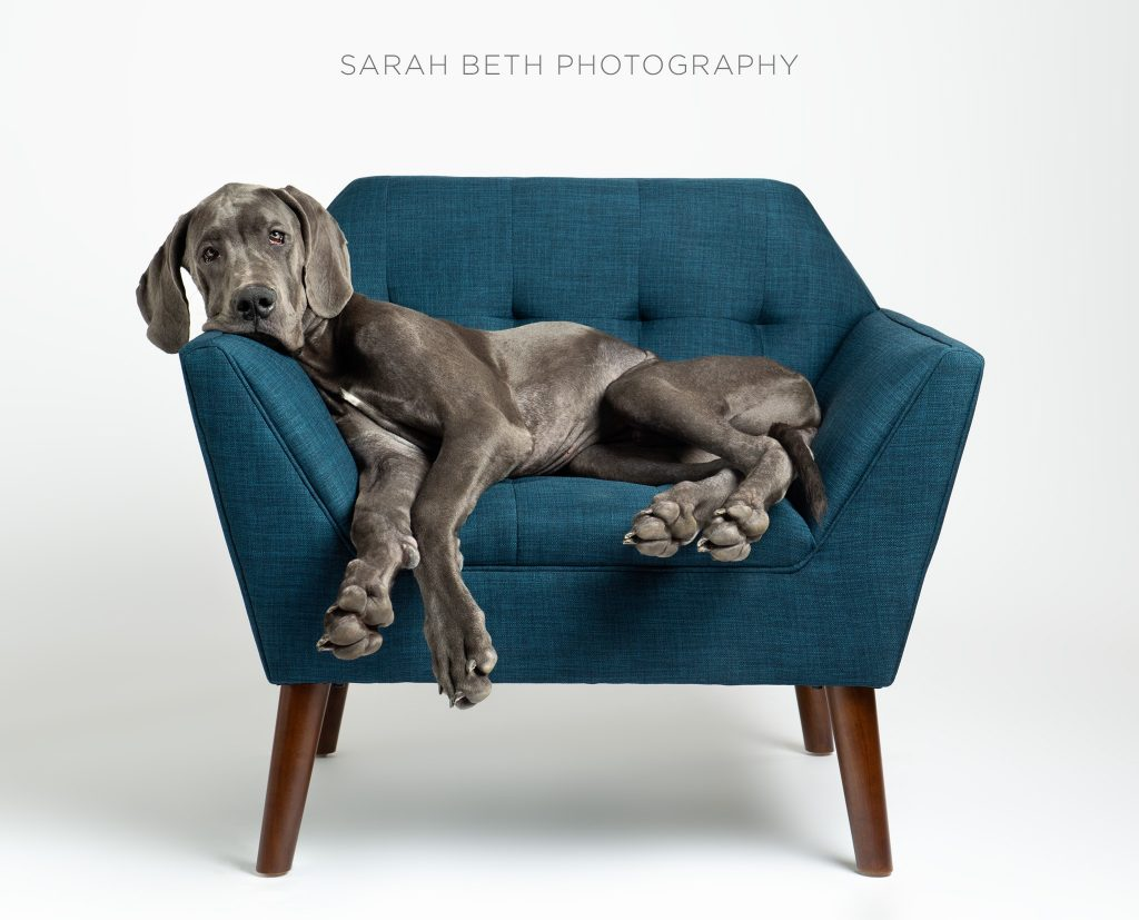 Pet photography of a dog lounging on a chair. Sarah Beth Photography.