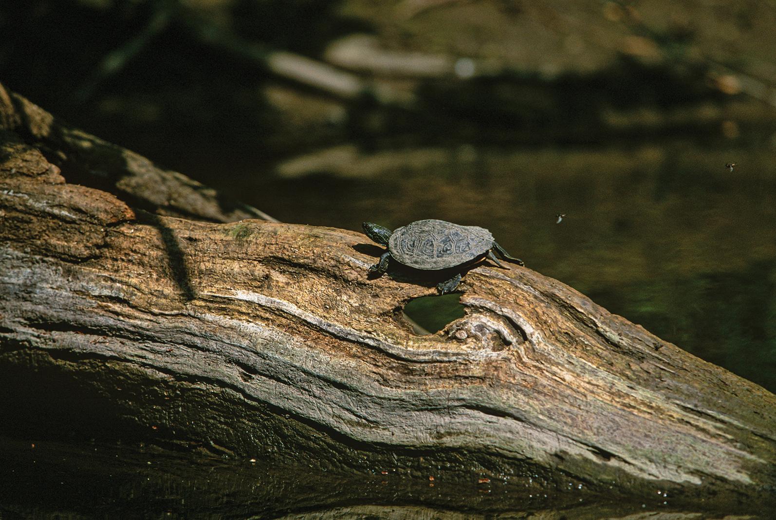 Turtle at Cannon River Turtle Preserve