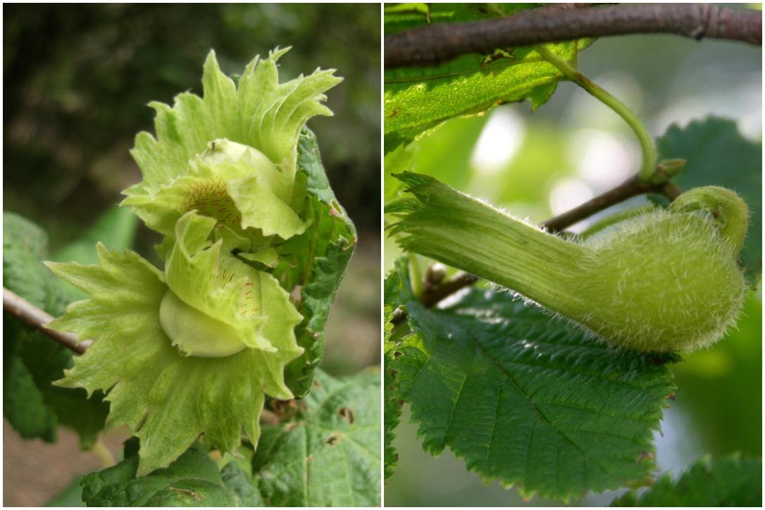 Varieties of wild hazelnuts